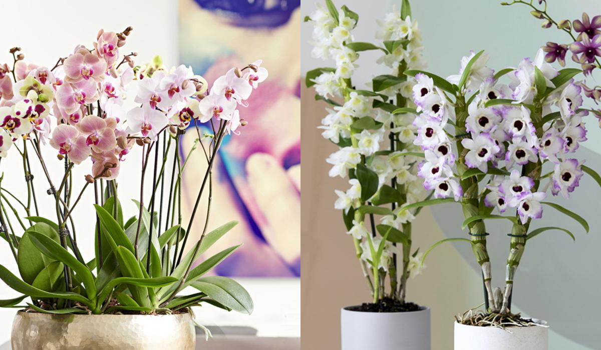 Schley_Orchideen