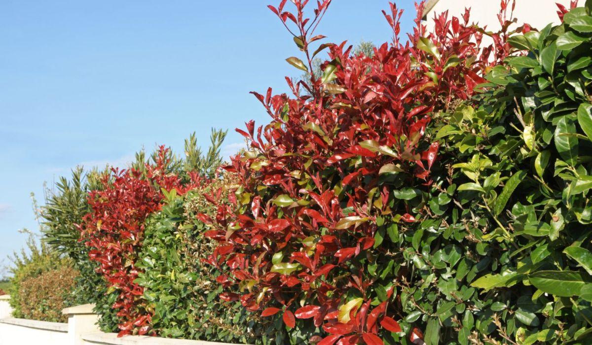 Kirschlorbeer online kaufen - Prunus laurocerasus