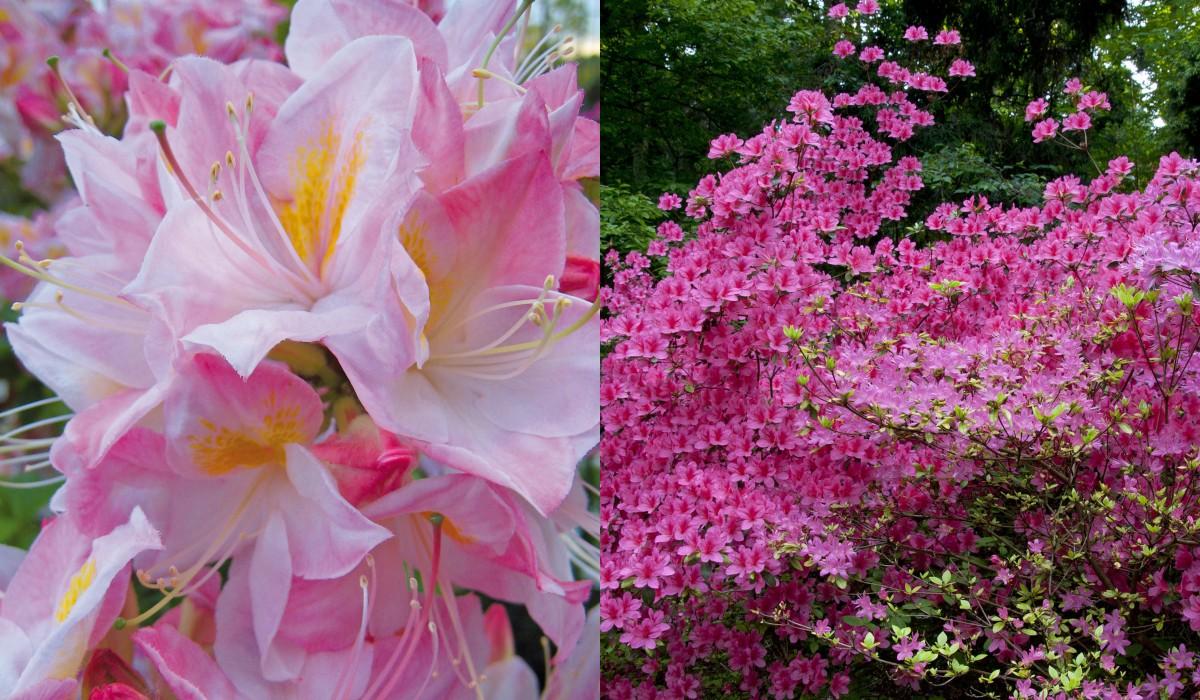 schley_essen_rhododendren_azaleen