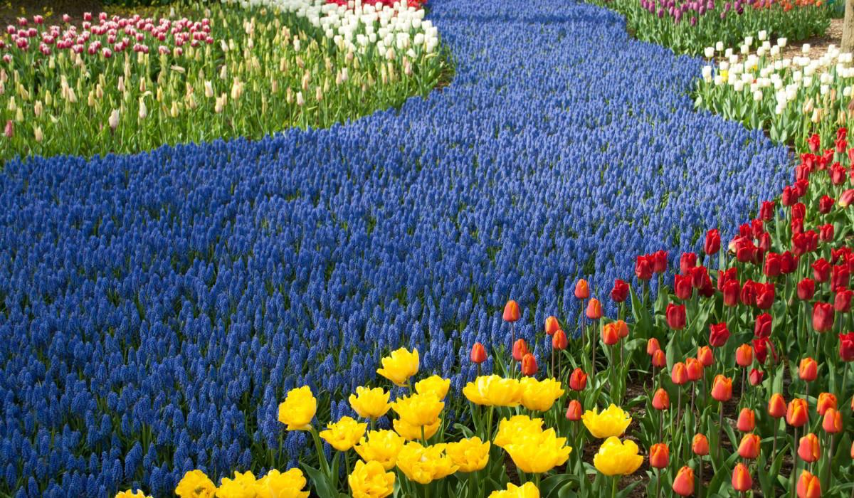 schley-essen-tulpen